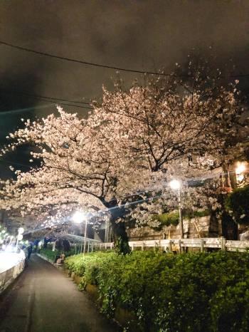 夜桜(2020/03/31 13:29)若林 ゆうのブログ画像